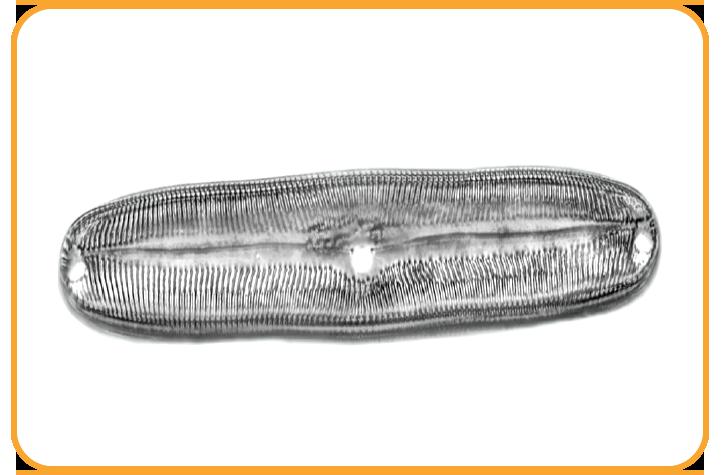 Diatomáceas